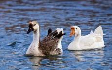 家里饲养的大鹅它们的祖先是天鹅还是野雁