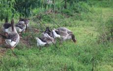 家里饲养的大鹅它们的祖先是a.天鹅b.野雁