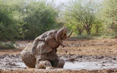 大象一般是通过什么方式防晒的是大象皮厚不怕晒还是在泥地里打滚儿