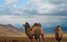 蚂蚁庄园考考你 骆驼的驼峰里储存的主要是什么